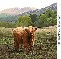 Highland Cow in Scotland - Highland Cow in Cairngorms...