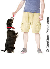Staffordshire Bull Terrier with owner owner - Staffordshire...