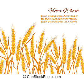 Wheat ear card. - Ears of wheat on white background. Vector...