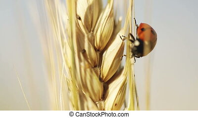 Ladybug on wheat - On wheat spikelet crawling ladybug