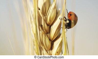 Ladybug on wheat - On wheat spikelet crawling ladybug