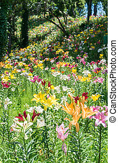 colorful lily field - this photo is taken in Shizuoka