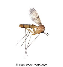 Mosquito isolated on white background, Culex pipiens