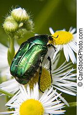 macro, bug - macro, green bug on daisywheel