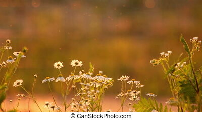 Daisies at sunset rays