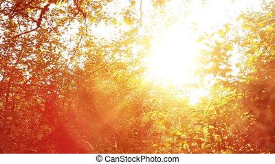 Apple tree at sunset golden rays of light