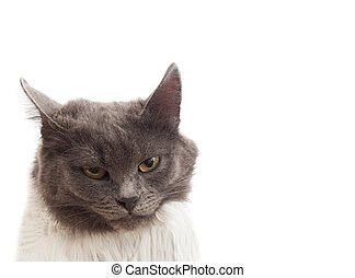 Portrait of a gray cat isolated on white background