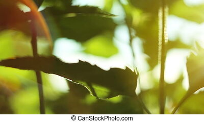 Green leafs in sunbeams - soft focus with slow dolly motion