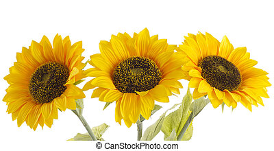 Sunflowers - Beautiful sunflowers on a white background,...
