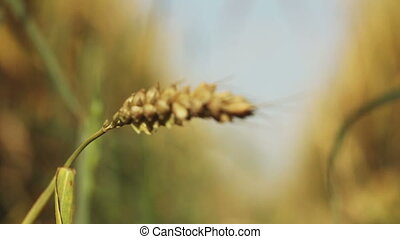Wheat spike - Focus with wheat spikelets moves on a track...