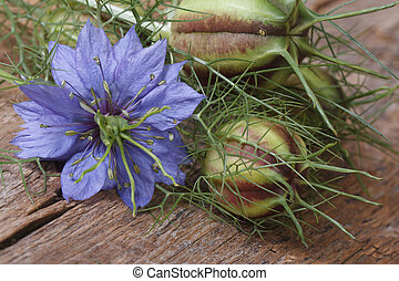 Nigella flower with a bud macro on a wooden table horizontal...