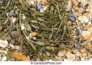 Closeup of seaweed Ascophyllum nodosum, commonly egg wrack -...