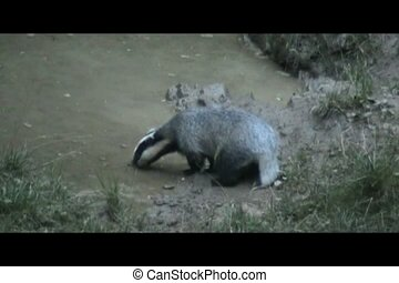 Badger (Meles meles) - Badger searching for food