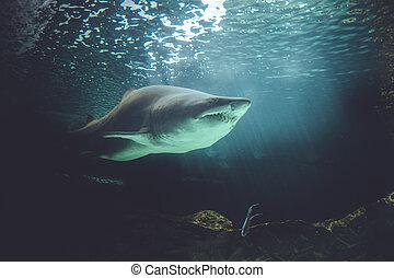 perigosa, Poderoso, tubarão, natação,...