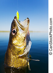 Walleye fishing - Close up shot of a walleye being caught