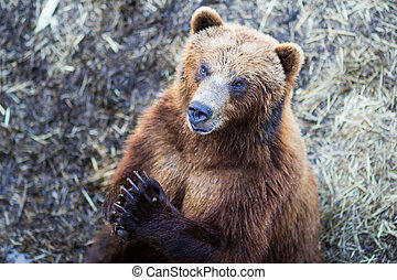 Praying brown bear - A brown bear with his paws together...
