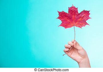skincare, mão, Maple, folha, Símbolo, vermelho, secos,...