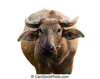 Buffalo isolated on the white background