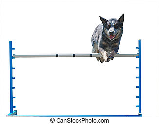 Australian Cattle Dog Jumping isolated with clipping path....
