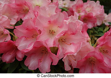 Pink Rhododendron Flowers - Close-up of pink and white...