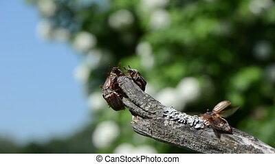 dor huddled branch tip - melolontha huddled on a branch tip...