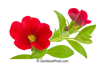 red petunia flower isolated on white