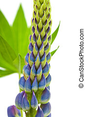 blue lupine isolated on white