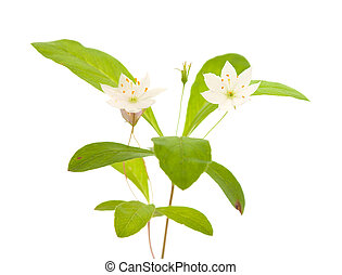 Arctic starflower isolated on white