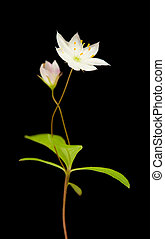 Arctic starflower isolated on black