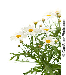 marguerite daisy isolated on white