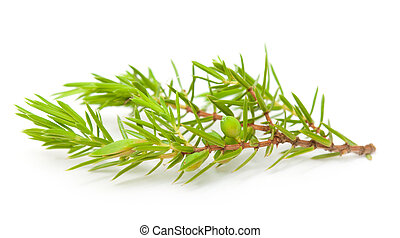 juniper twig isolated - juniper twig with green berries...