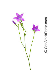 Spreading bellflower isolated on white