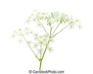 Cow parsley isolated on white background