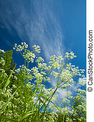 summer background with cow parsley - summer natural sunny...