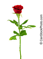 red rose on a white background - bright red rose isolated on...