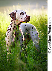 spotted dog - Dalmatian dog