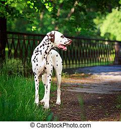 spotted dog - Dalmatian dog