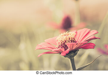 Zinnia flower in the garden nature and park vintage