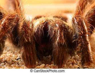 Big bird spider (Avicularia spec.) from Brasil
