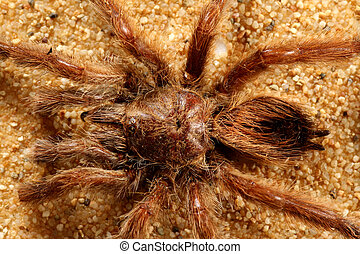 Big bird spider Avicularia spec from Brasil