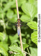 Broad-bodied chaser - Male broad-bodied chaser - back view -...