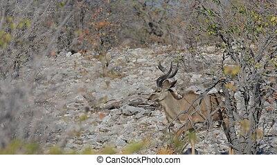 Kudu antelopes - Side view of male kudu antelopes in...