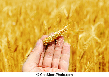 new harvest in hand over golden field