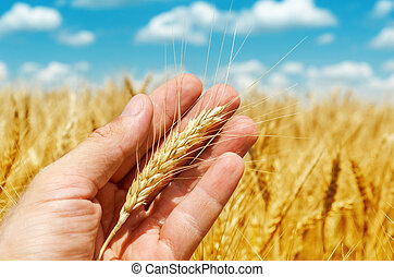 golden ear of wheat in hand over field
