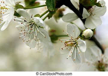 cherry blossom (Cerasus)