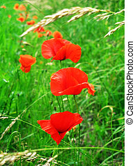 Poppies in a green grass