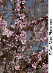 The almond tree pink flowers in spring