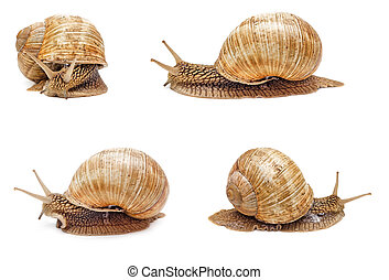 Snail isolated - Garden snail isolated on white background....