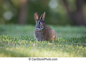 Wild rabbit on grass