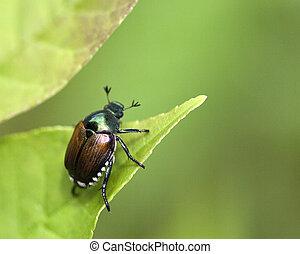 Beetle - Japanese Beetle Popillia japonica sitting on a leaf...